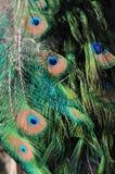 Ojos del pavo real Imagenes de archivo