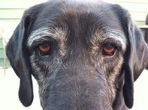 Ojos del perro Fotos de archivo