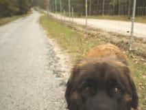 Ojos del perro Fotografía de archivo
