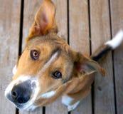 Ojos del perro Foto de archivo libre de regalías