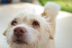 ojos del perro blanco Imágenes de archivo libres de regalías