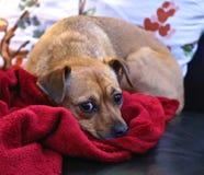 Ojos del perro de perrito Foto de archivo libre de regalías