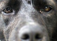 Ojos del perro negro Imagen de archivo libre de regalías