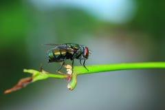 Ojos del rojo de la mosca Imágenes de archivo libres de regalías