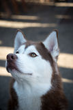 Ojos destacados del color marrón inusual fornido del perro de Alaska Foto de archivo