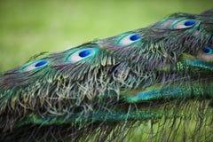 Ojos en la cola del ` s del pavo real Fotografía de archivo