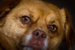Ojos fieles del perro Fotos de archivo libres de regalías