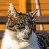 Ojos grandes del gato Imagen de archivo