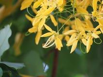 Ojos hermosos de la floración de la flor del verano Fotos de archivo libres de regalías