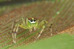Ojos hermosos que saltan la araña Fotografía de archivo