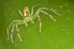 Ojos hermosos que saltan la araña Foto de archivo libre de regalías
