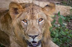 Ojos intensos de un león joven en el parque nacional de Bannerghatta imágenes de archivo libres de regalías