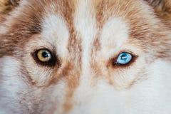 Ojos multicolores de Husky Dog Puppy Imagen de archivo libre de regalías