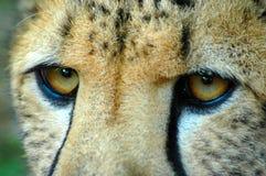 Ojos peligrosos Imágenes de archivo libres de regalías