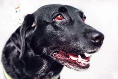 Ojos rojos del perro negro listos para entrenar foto de archivo