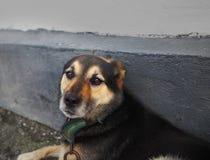 Ojos tristes de un perro en una cadena Foto de archivo