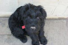 Ojos tristes de un perro de perrito imagen de archivo