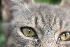 Ojos verdes borrosos y pelo gris suave Foto de archivo