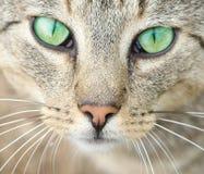 Ojos verdes de un gato. Fotografía de archivo