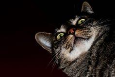 Ojos verdes del gato Imagen de archivo