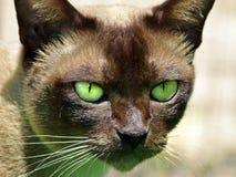 Ojos verdes esmeralda vivos del primer del gato Imagen de archivo libre de regalías