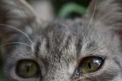 Ojos verdes y pelo gris suave Foto de archivo