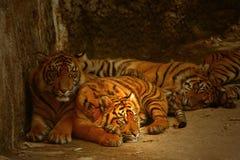 Ojos vigilantes de los tigres Foto de archivo libre de regalías
