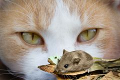 Ojos y ratón de gato Foto de archivo