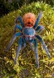 okładzinowa frontowa tarantula Fotografia Stock