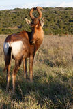 OK I have EYES The Red Harte-beest - Alcelaphus buselaphus caama. Alcelaphus buselaphus caama - The red hartebeest is a species of even-toed ungulate in the stock photography