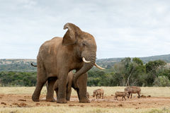 Ok stop taking photos of The African Bush Elephant stock images