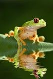 oka żaby czerwieni drzewo Fotografia Stock