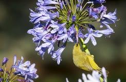Oka karmienie na agapanthus Zdjęcie Royalty Free