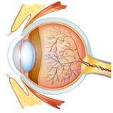 Oka ludzki przekrój poprzeczny Zdjęcie Stock