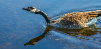 Canadian goose at Oka Park Royalty Free Stock Photography