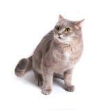Okaleczający kot naciskał ucho i cofał się z powrotem Obraz Royalty Free