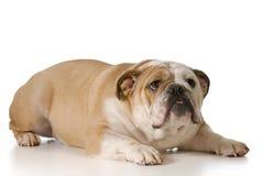 Okaleczający lub nerwowy pies zdjęcia royalty free