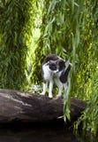 Okaleczający agresywny kot Zdjęcie Royalty Free
