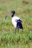 Okaleczający ibis na obszarze trawiastym Obrazy Royalty Free