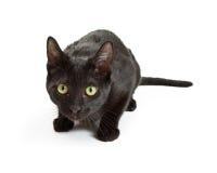 Okaleczam Czarnego kota Kuli się Patrzeć Naprzód Zdjęcie Stock