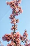 Okame rose de campanulata de prunus d'arbre de ressort en fleur contre le ciel bleu image stock