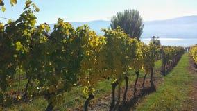 Okanagan的葡萄园 库存照片