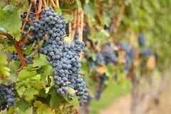 okanagan葡萄的收获准备 免版税图库摄影