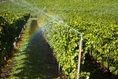 Okanagan谷有机黑比诺葡萄酒葡萄园 库存照片