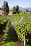 Okanagan谷有机黑比诺葡萄酒葡萄园 库存图片