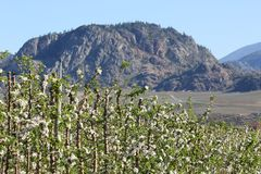Okanagan Apple Blossoms, BC, Canada Stock Photography