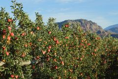 Okanagan Apple Orchard, British Columbia Stock Images