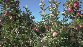 Okanagan Apple Orchard 4K UHD stock video