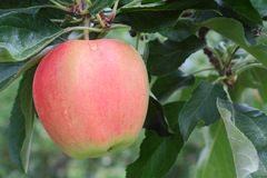 Okanagan Apple, Tree Branch Royalty Free Stock Photos