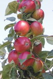 Okanagan Apples Stock Image